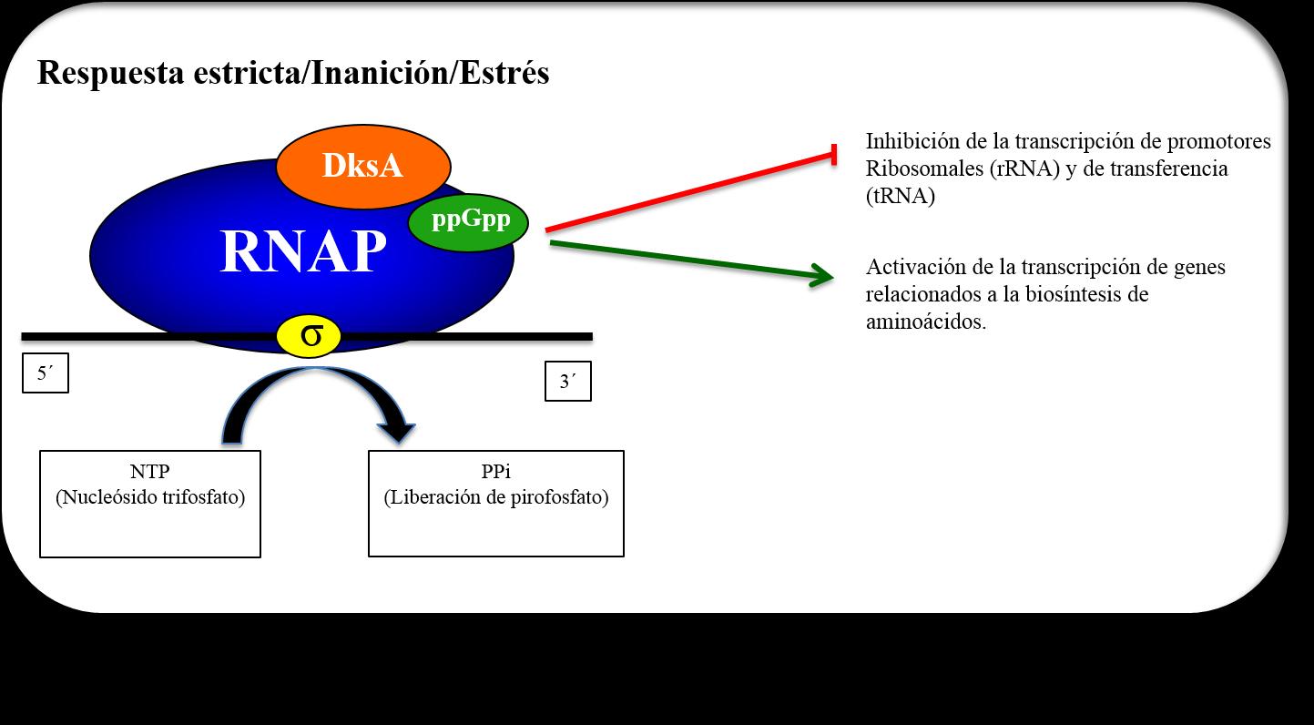 Efectos específicos de ppGpp y DksA en la expresión genética