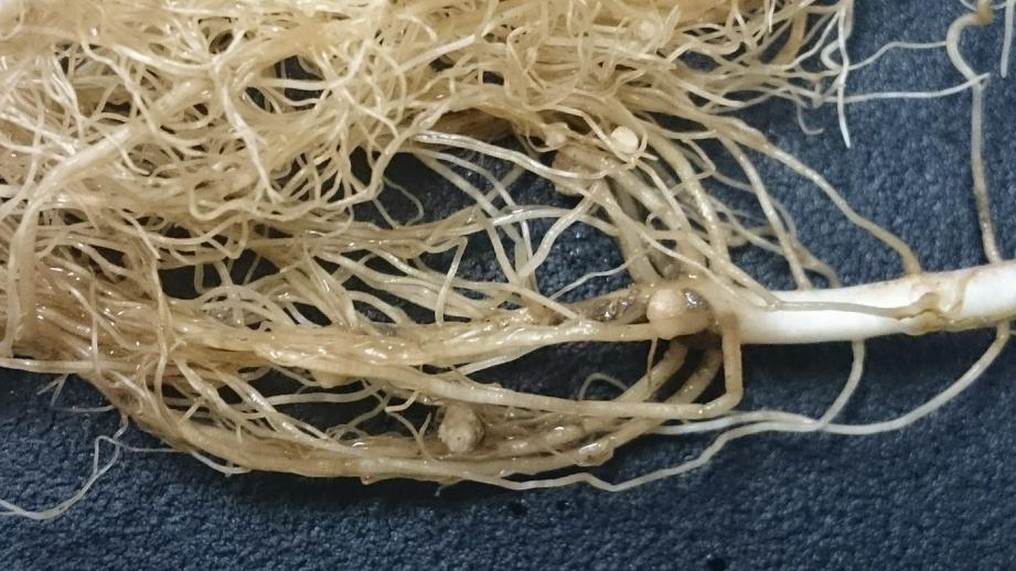 Esas bolitas en las raíces del frijol