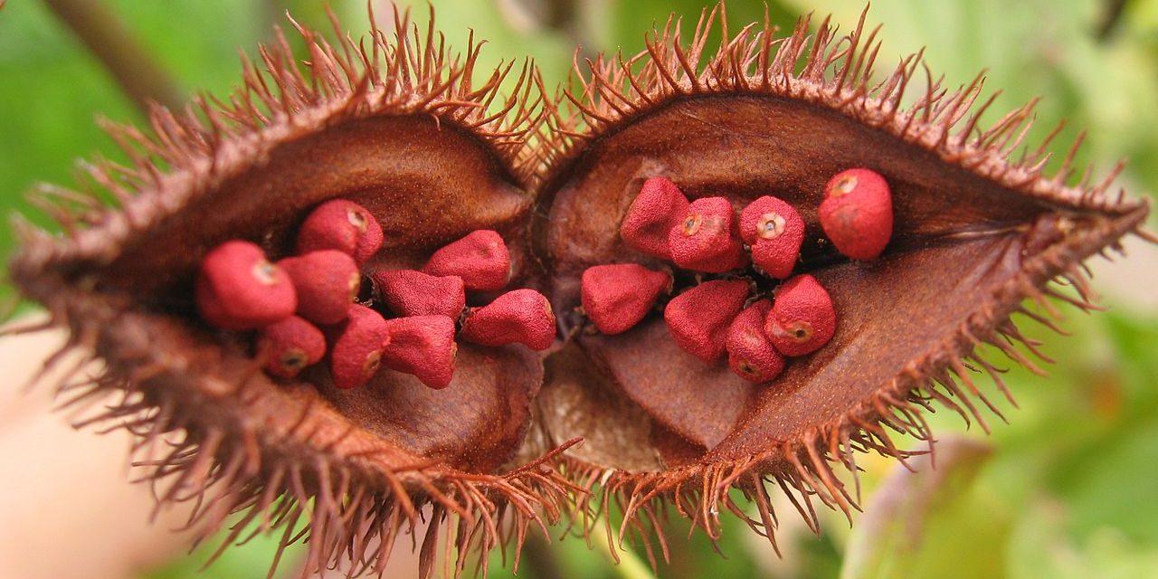 Identificando a las mejores plantas de achiote