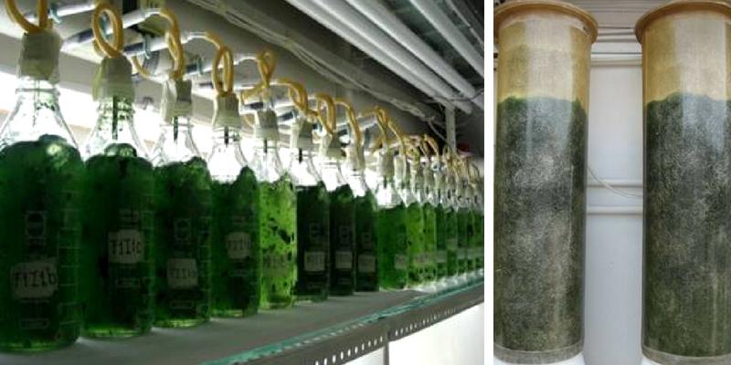 Biofertilizante producido a base de cianobacterias en la Costa oaxaqueña