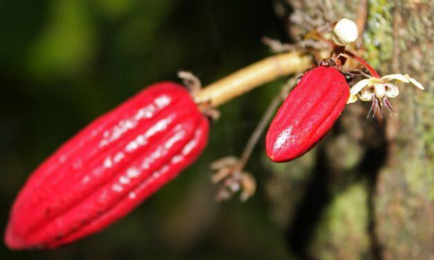 El genoma de Theobroma cacao