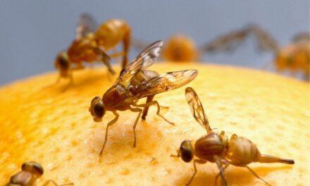 """La famosa modelo: """"Drosophila melanogaster"""""""