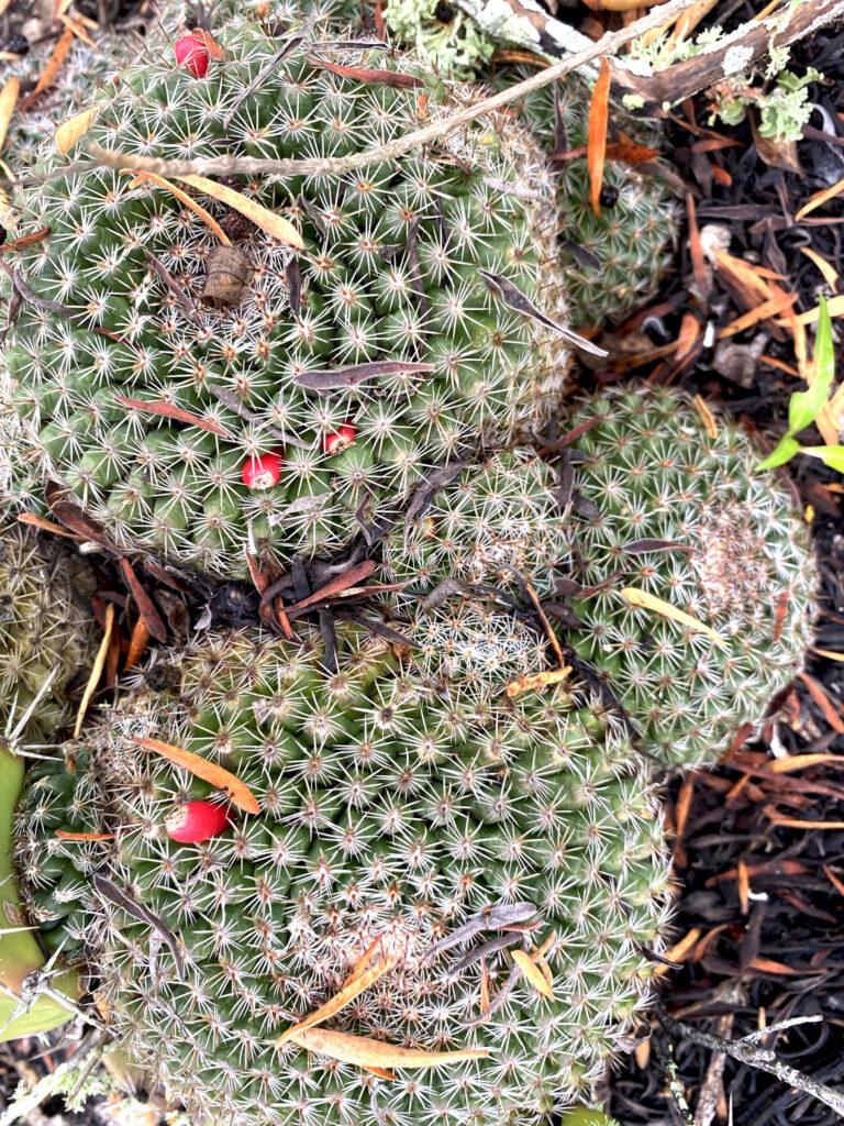 Mammillaria gaumeri. Especie endémica de la PY